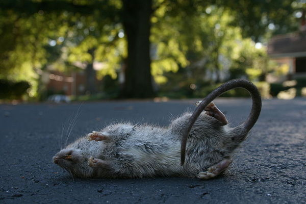 Although rat is dead, its genes may still be functioning, a new study reveals.