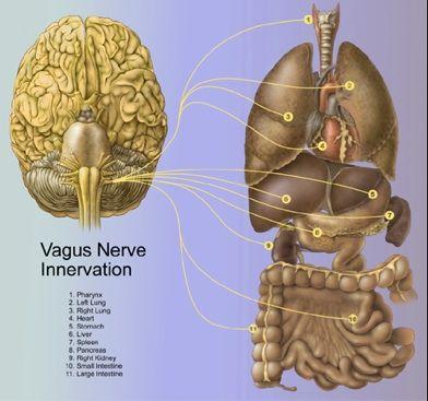 Vagal Nerve Pathway