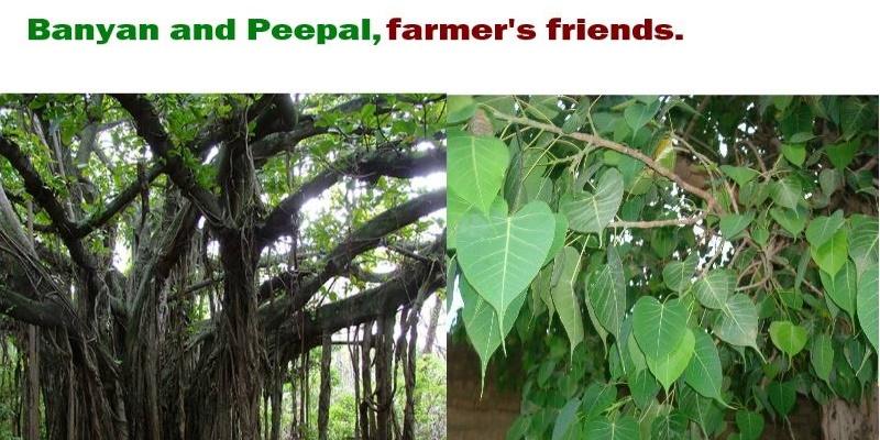 BanyanPeepal