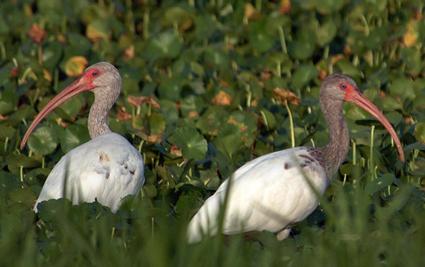 Paynes Prairie, Ibis, trees, grasses, water, marsh. UF/IFAS Photo: Josh Wickham