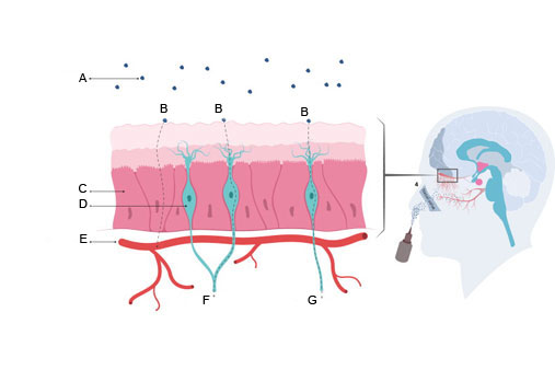The illustration shows that oxytocin can reach the brain in two ways: either indirectly, through the blood, or directly, along nerve pathways. A: Particles from a nasal spray. B: Route. C: Mucous membrane. D: Sensory nerve cell. E: Blood vessel. F: Nerve pathway. G: Nerve.