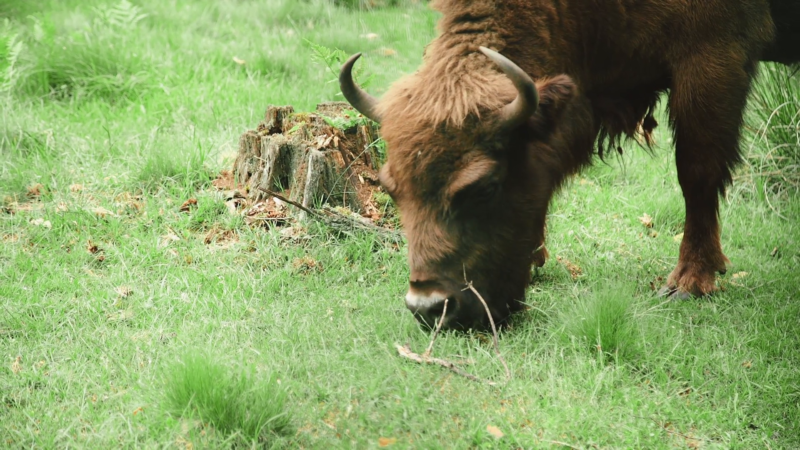 https://d2v9y0dukr6mq2.cloudfront.net/video/thumbnail/EPYigw0Ux/bison-is-grazing-in-the-forest-in-the-wildlife_hegrrars__F0000.png